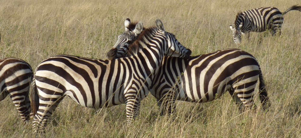 new safari