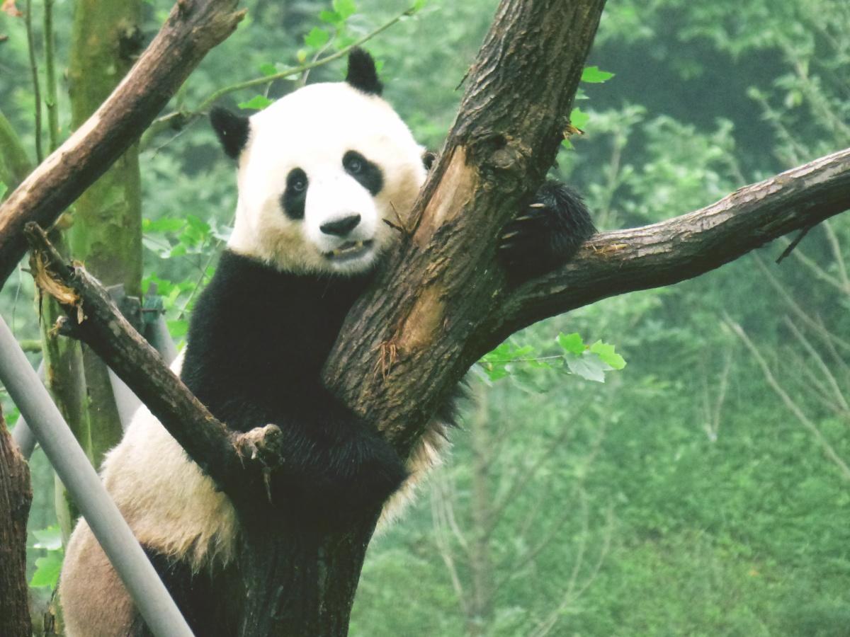 Warto pomagać, czyli o wolontariacie z pandami